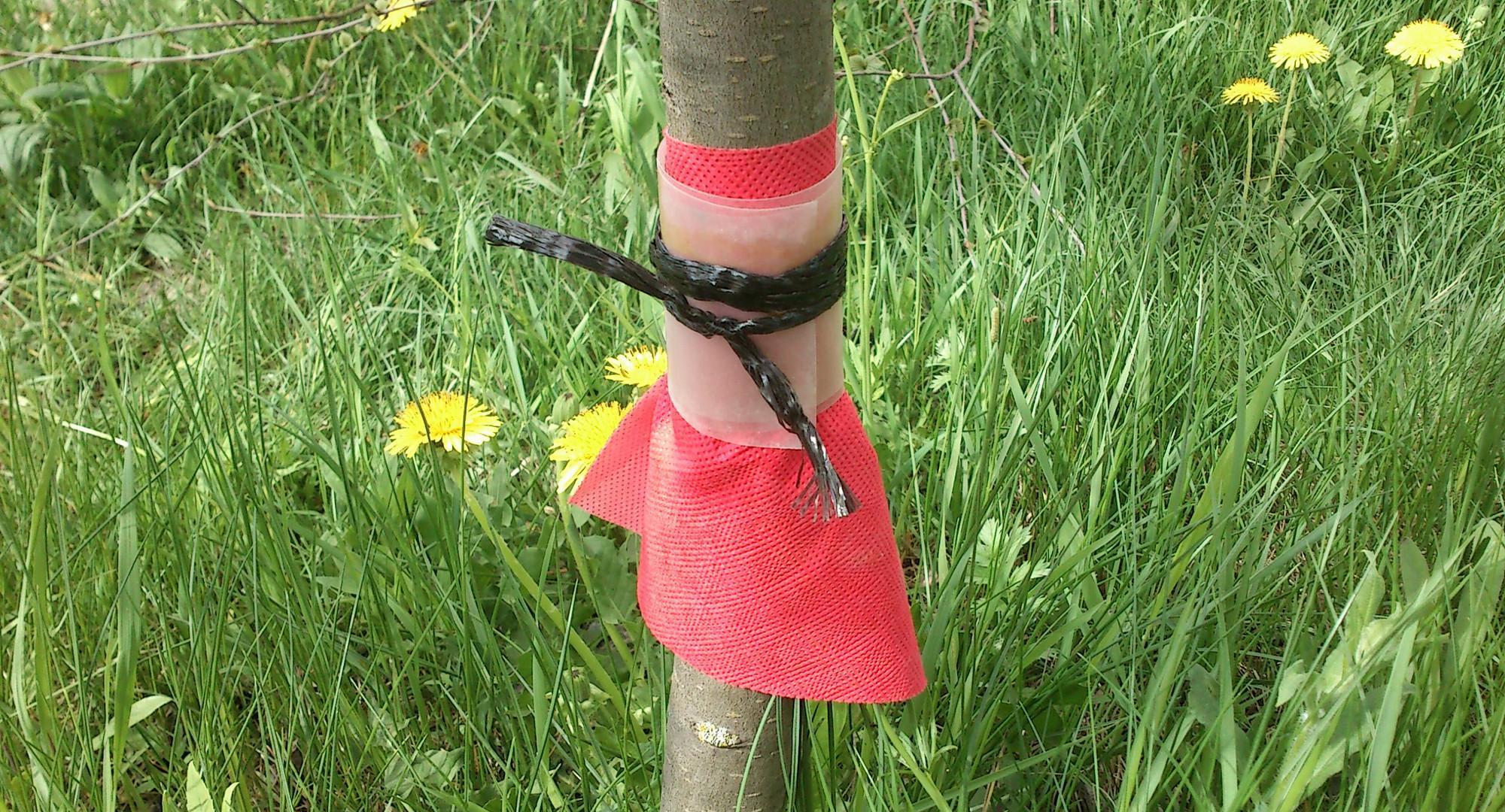 Ловчие пояса для яблонь своими руками фото 75