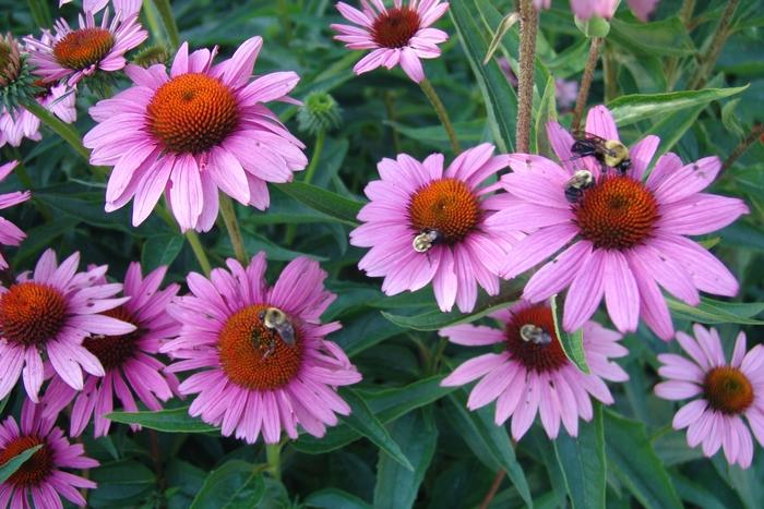 Рудбекия: посадка и уход. Рудбекия: описание растения, посадка культуры, особенности ухода за цветком