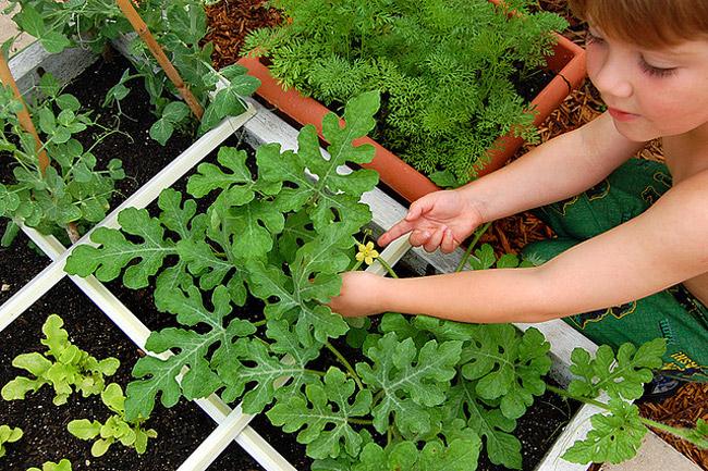 Арбуз выращивание открытым грунт 797