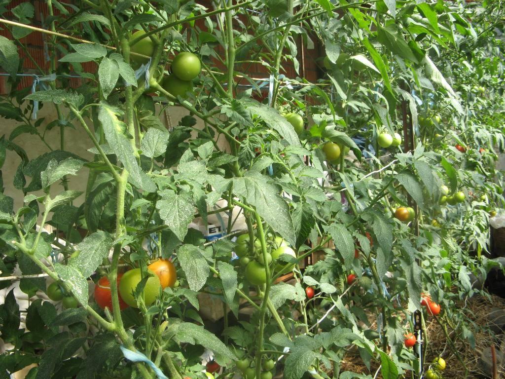 Что сделать чтобы помидоры быстрее завязывались