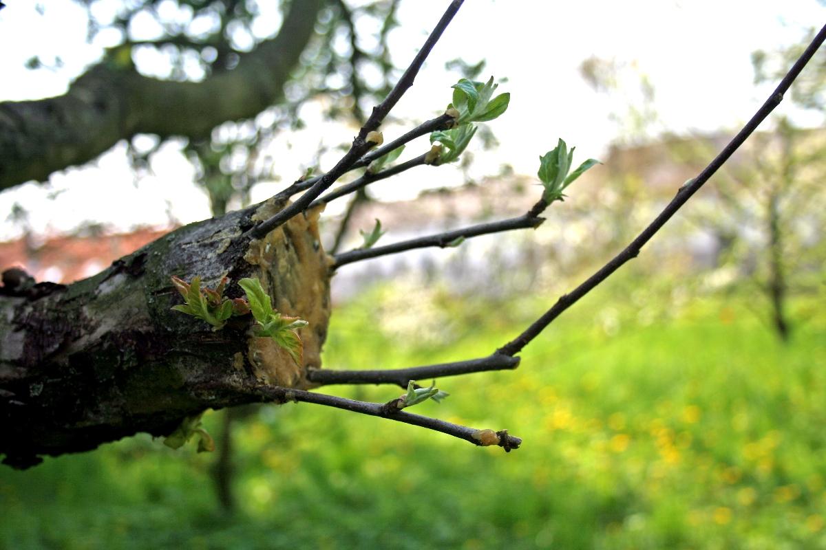 Правила прививки груши на другие деревья и сорта