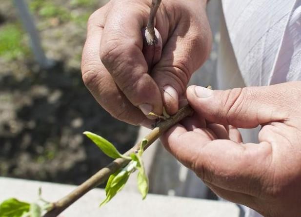 Можно ли привить черешню к вишне