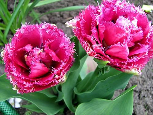 be3e76d51e57 МИР РАСТЕНИЙ. Тюльпаны махровые