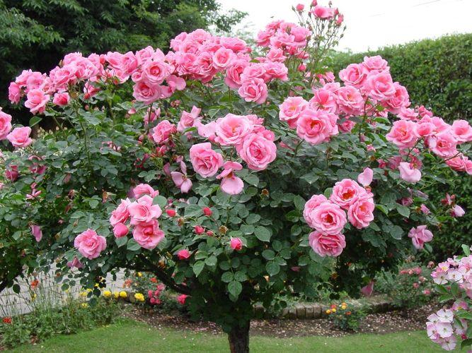 розы на садовом участке