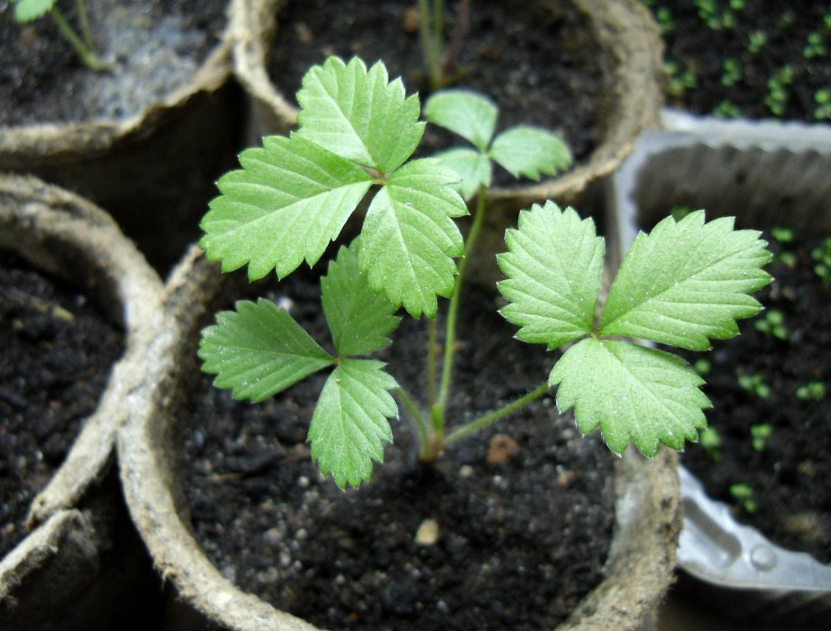 Выращивание земляники из семян отзывы 42