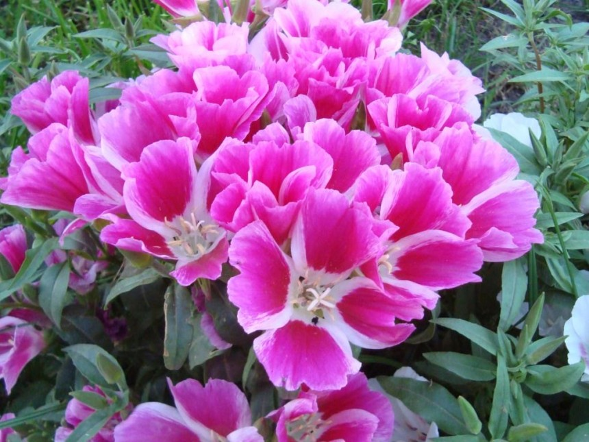 Цветы годеция.