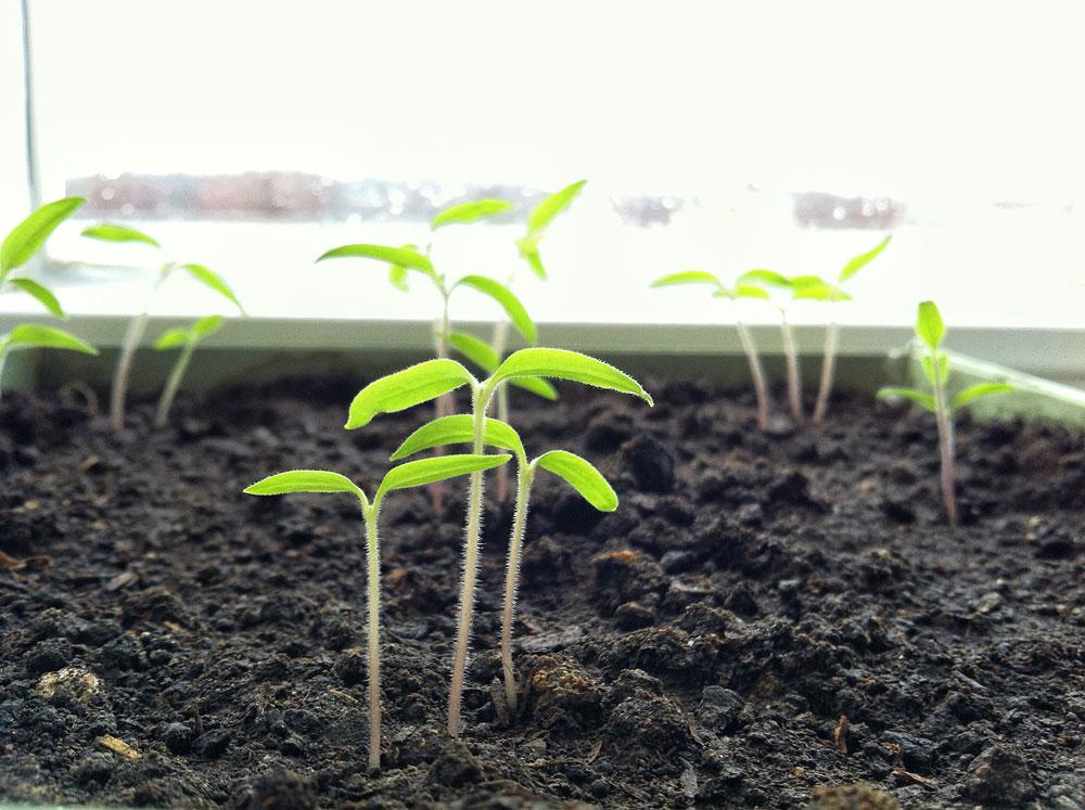 как растет лаванда