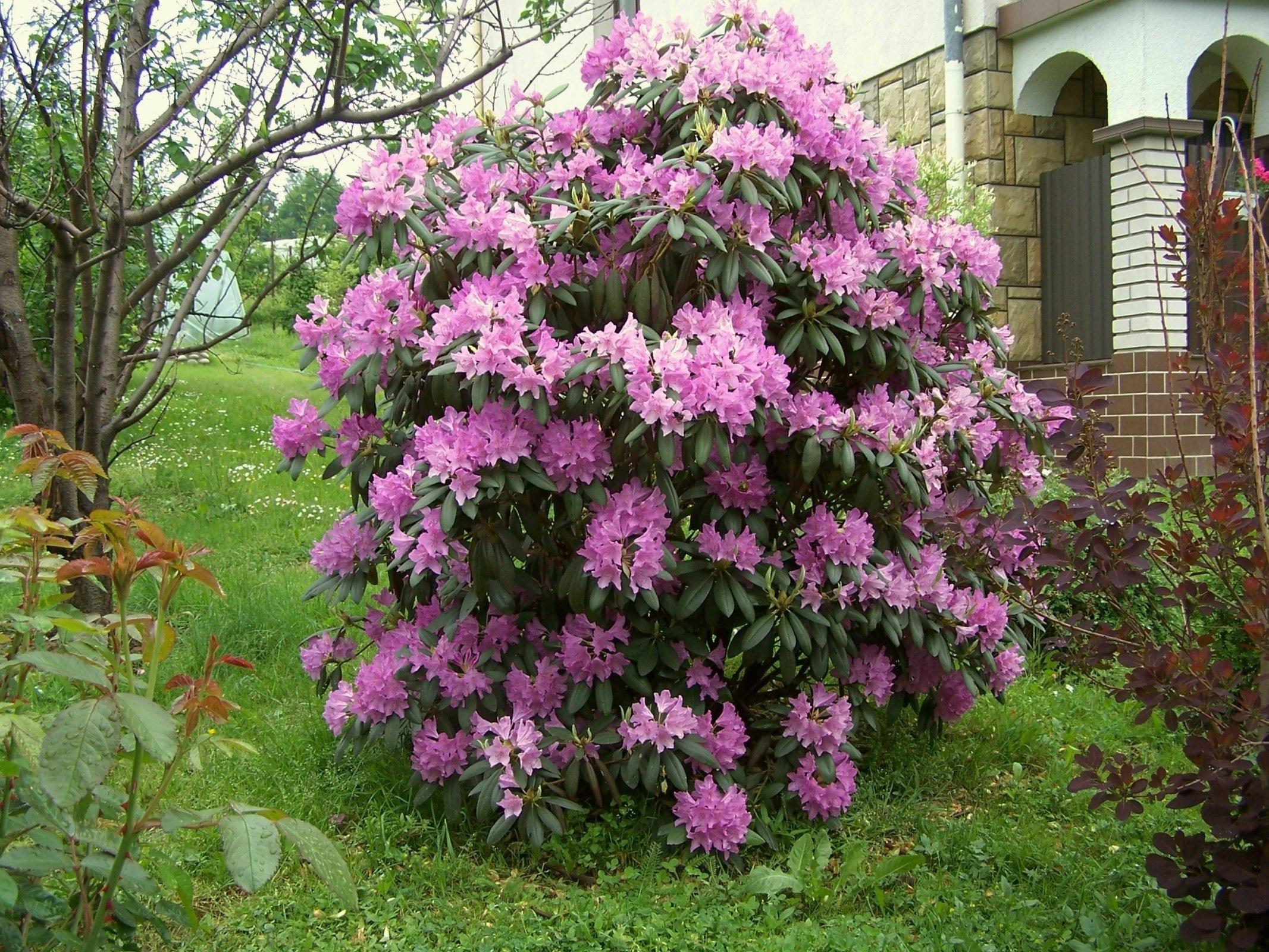 Азалия многолетняя садовая выращивание и уход фото 88