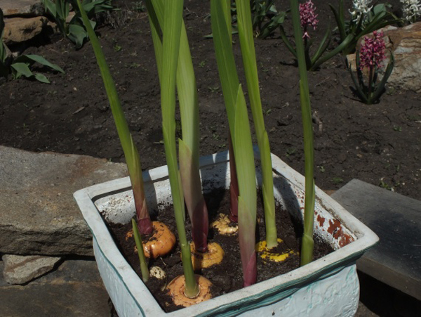 Женьшень и его выращивание в сибири 37