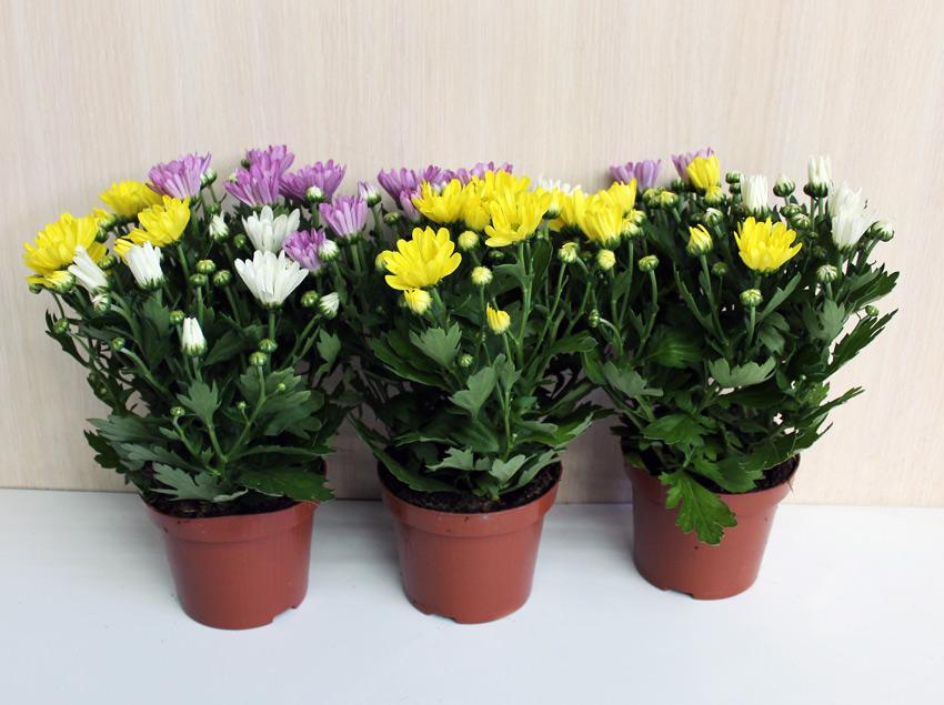 Хризантема комнатная цветок фото