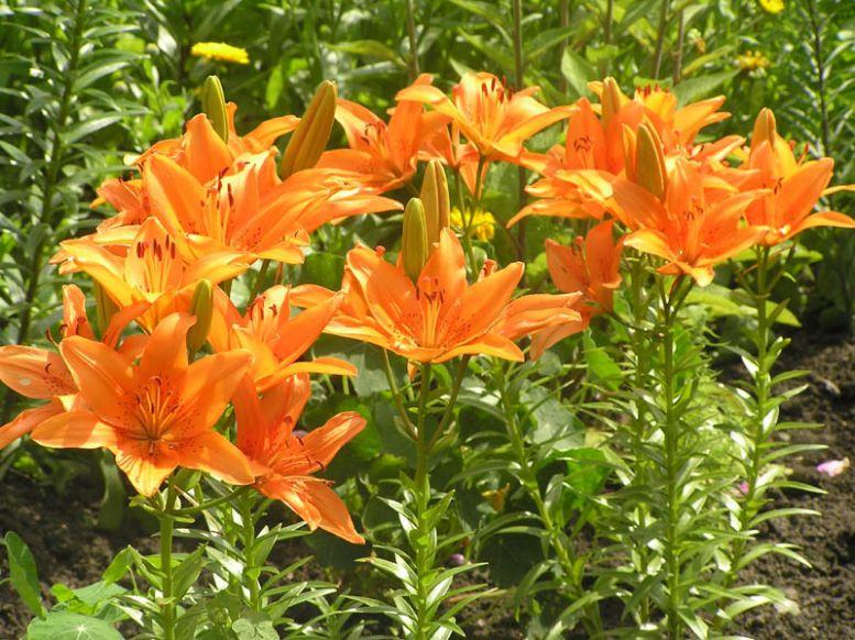 Цветы лилии садовые