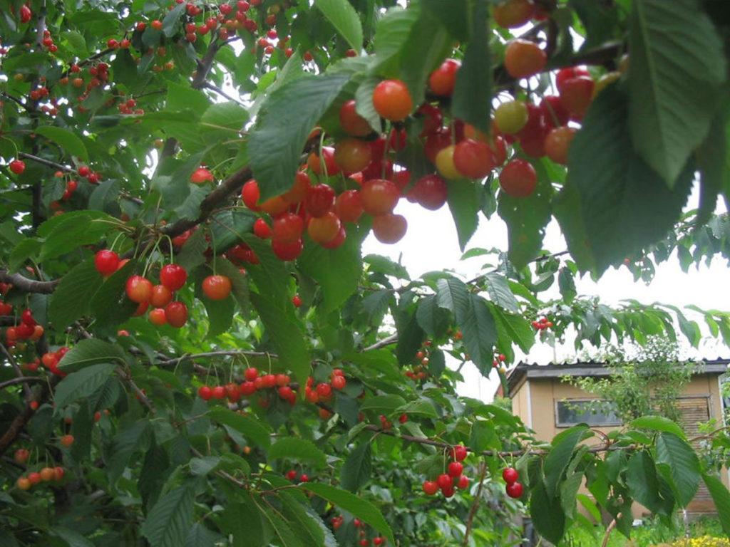 Выращивание черешни в омске 42
