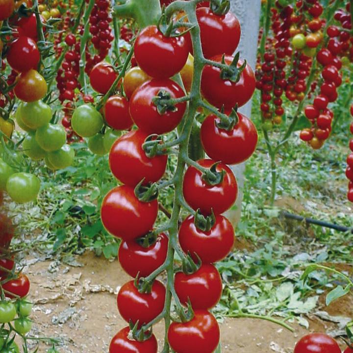 Выращивание томатов черри в теплицах 188