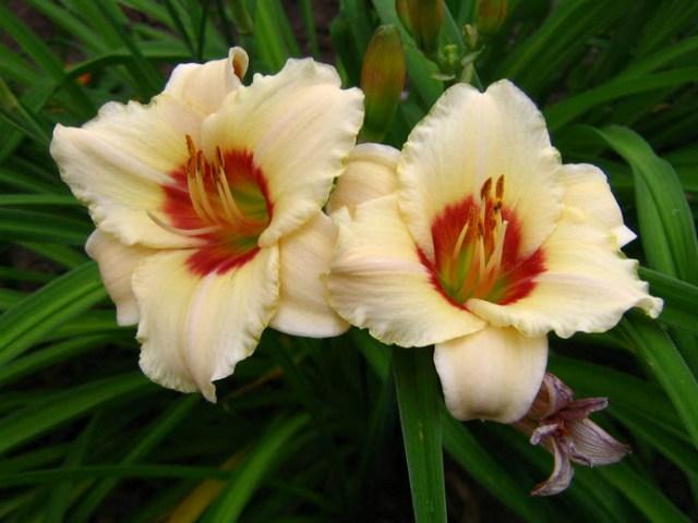 Цветок лилейники