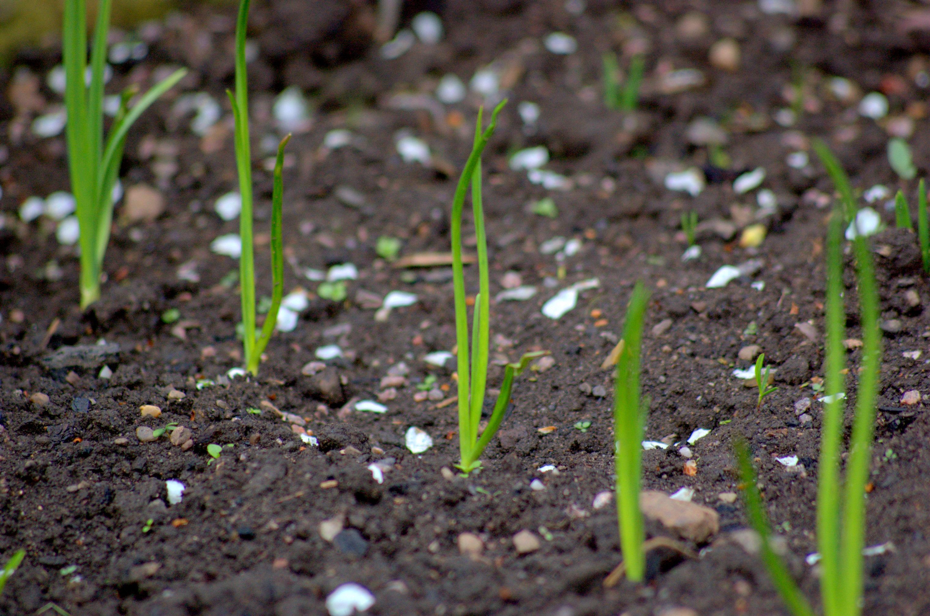 Выращивание репчатого лука из севка. Технология, секреты 31