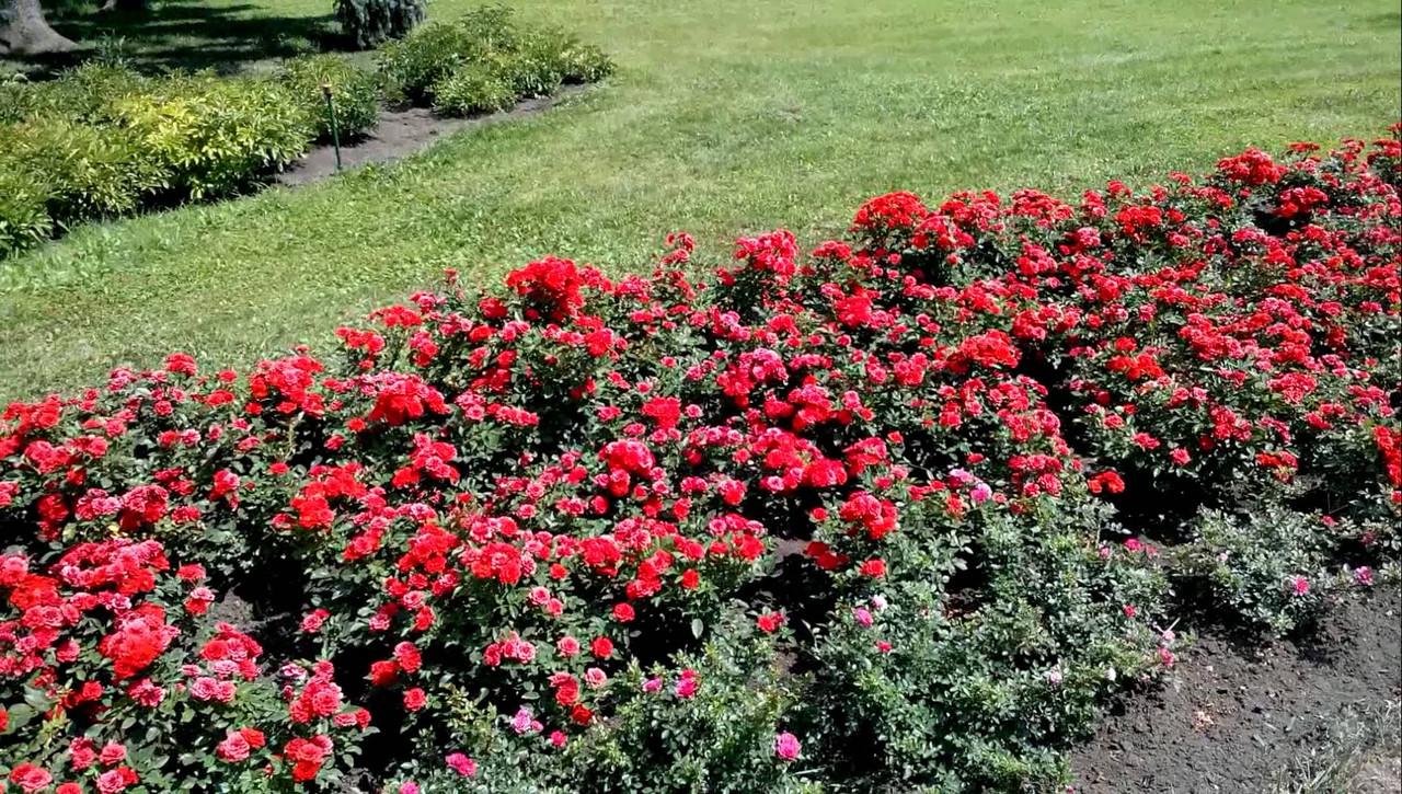Роза бордюрная сорта и фото
