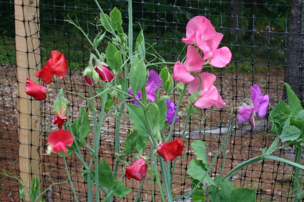 Выращивание душистого горошка однолетнего 983