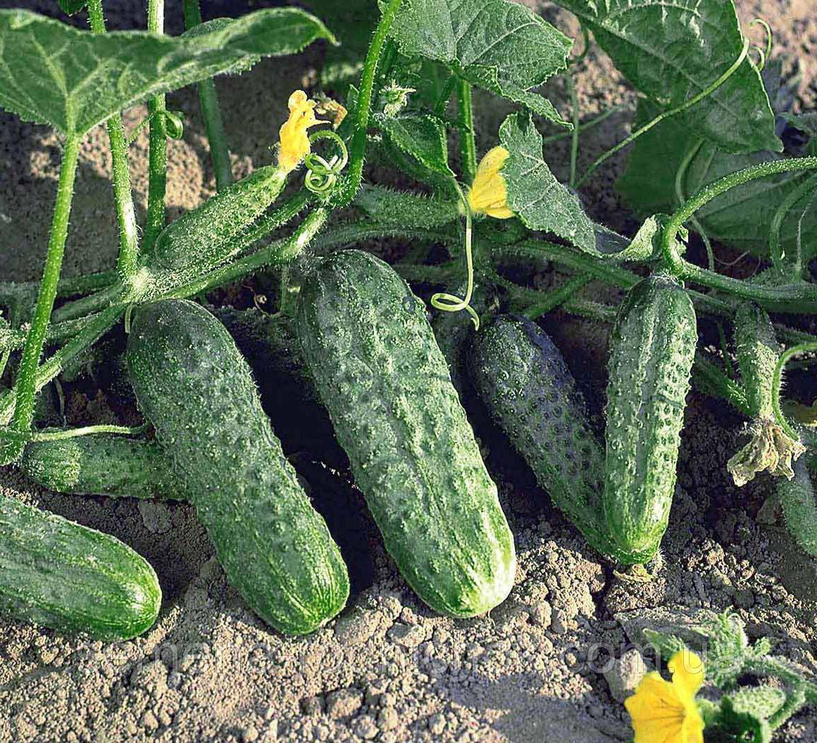 Огурец выращивание в закрытом грунте 346