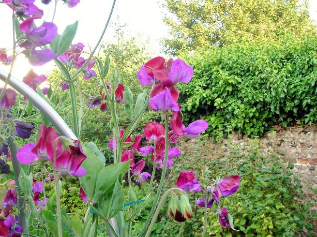 Цветной горошек выращивание 9