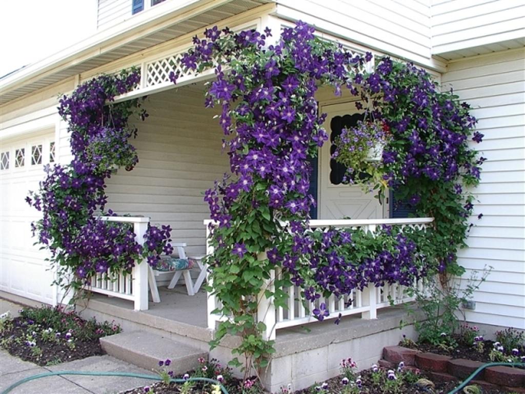 Цветы ипомея