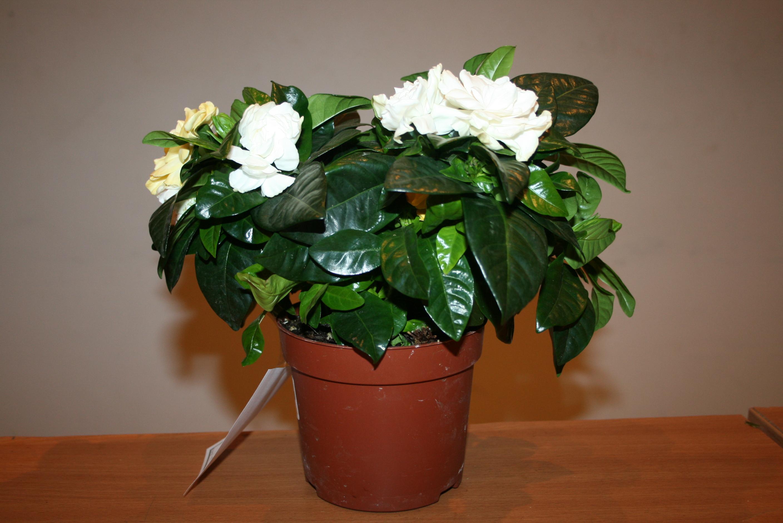 Комнатный цветок жасмин как ухаживать