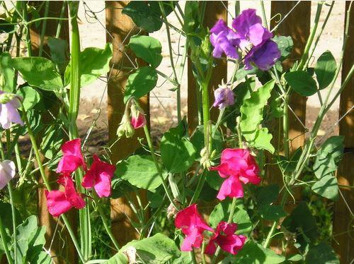 Цветной горошек выращивание 35