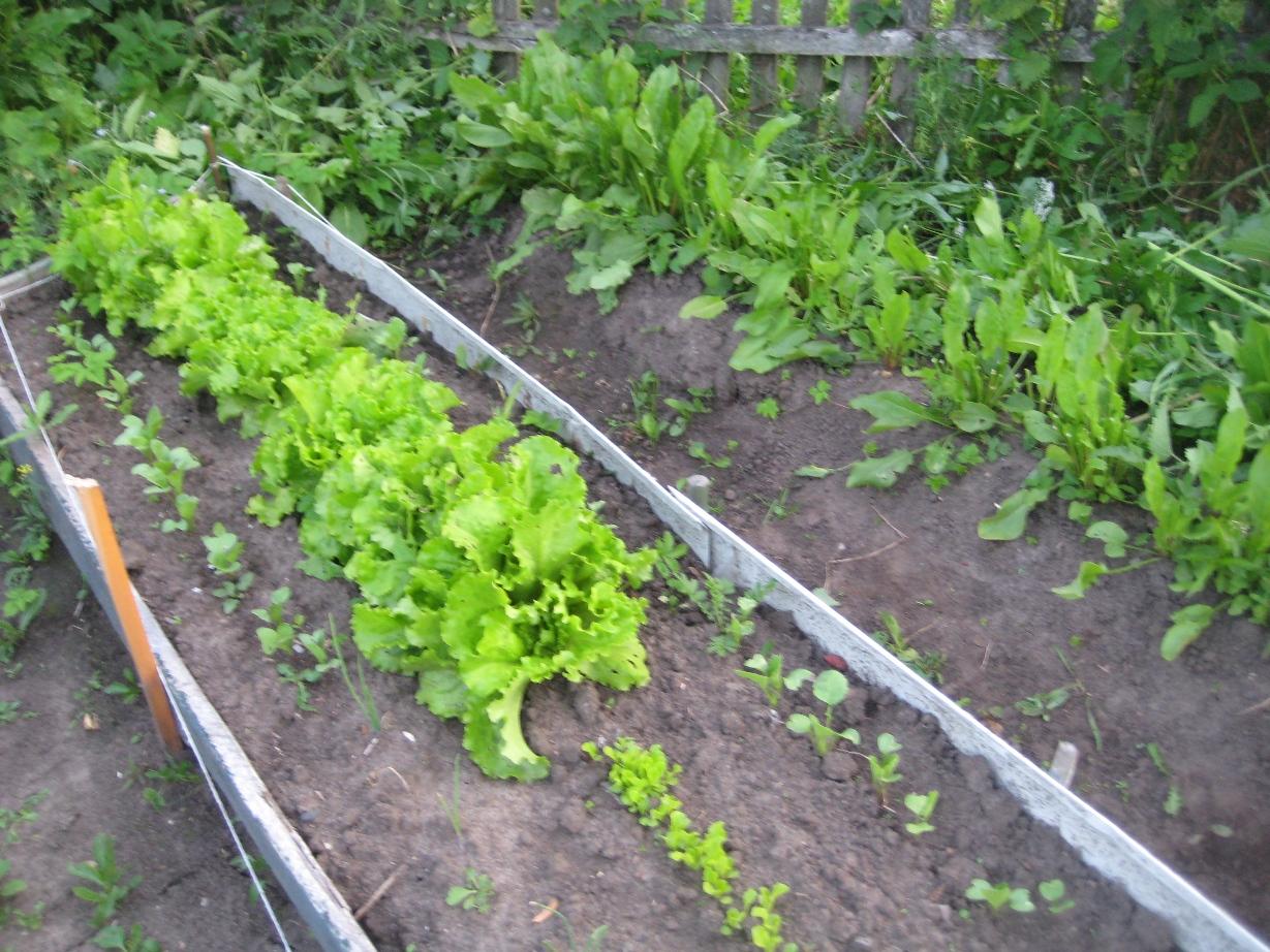 Посадка петрушки в открытый грунт семенами, выращивание и уход видео 77