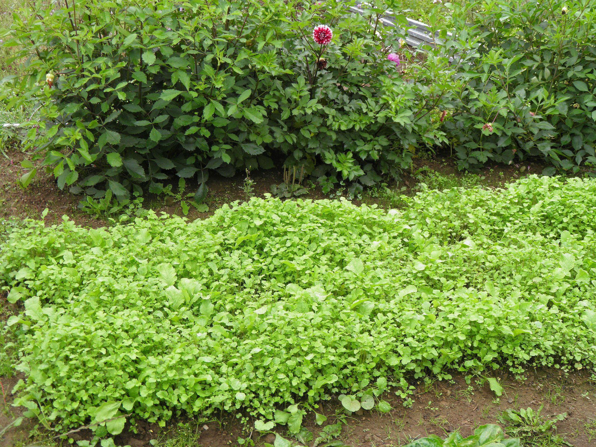 Как сажать семена горчицы для оздоровления огорода 8