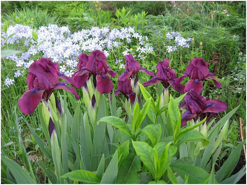 Ирисы карликовые цветы