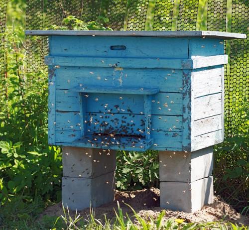 Как поймать рой пчел. Ловля пчелиного