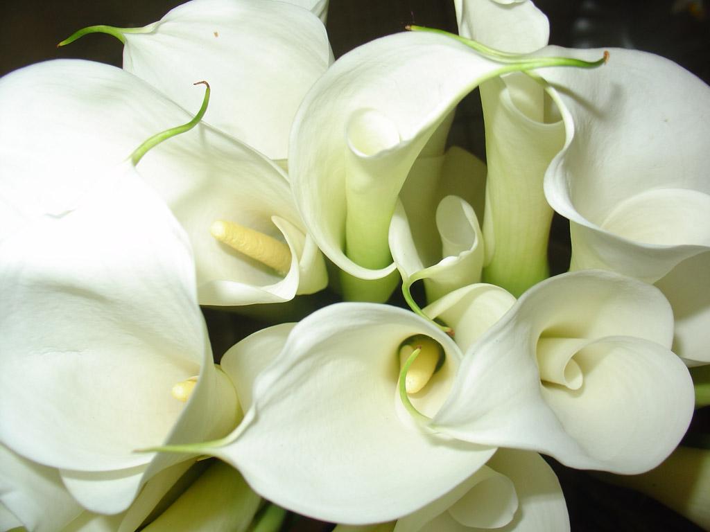 Комнатные цветы с крупными листьями и белыми цветами название фото
