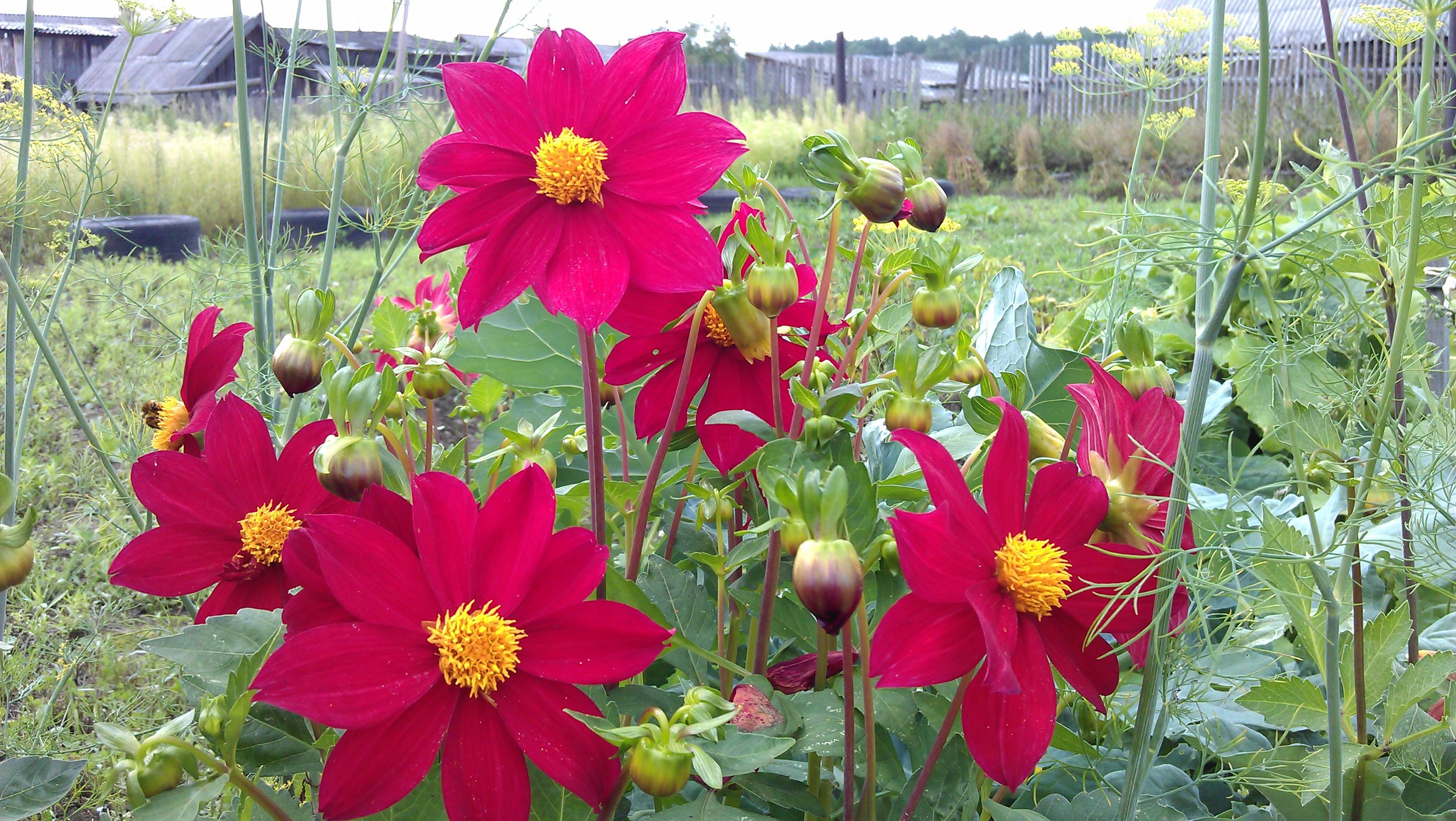 Георгины фото цветов рассада