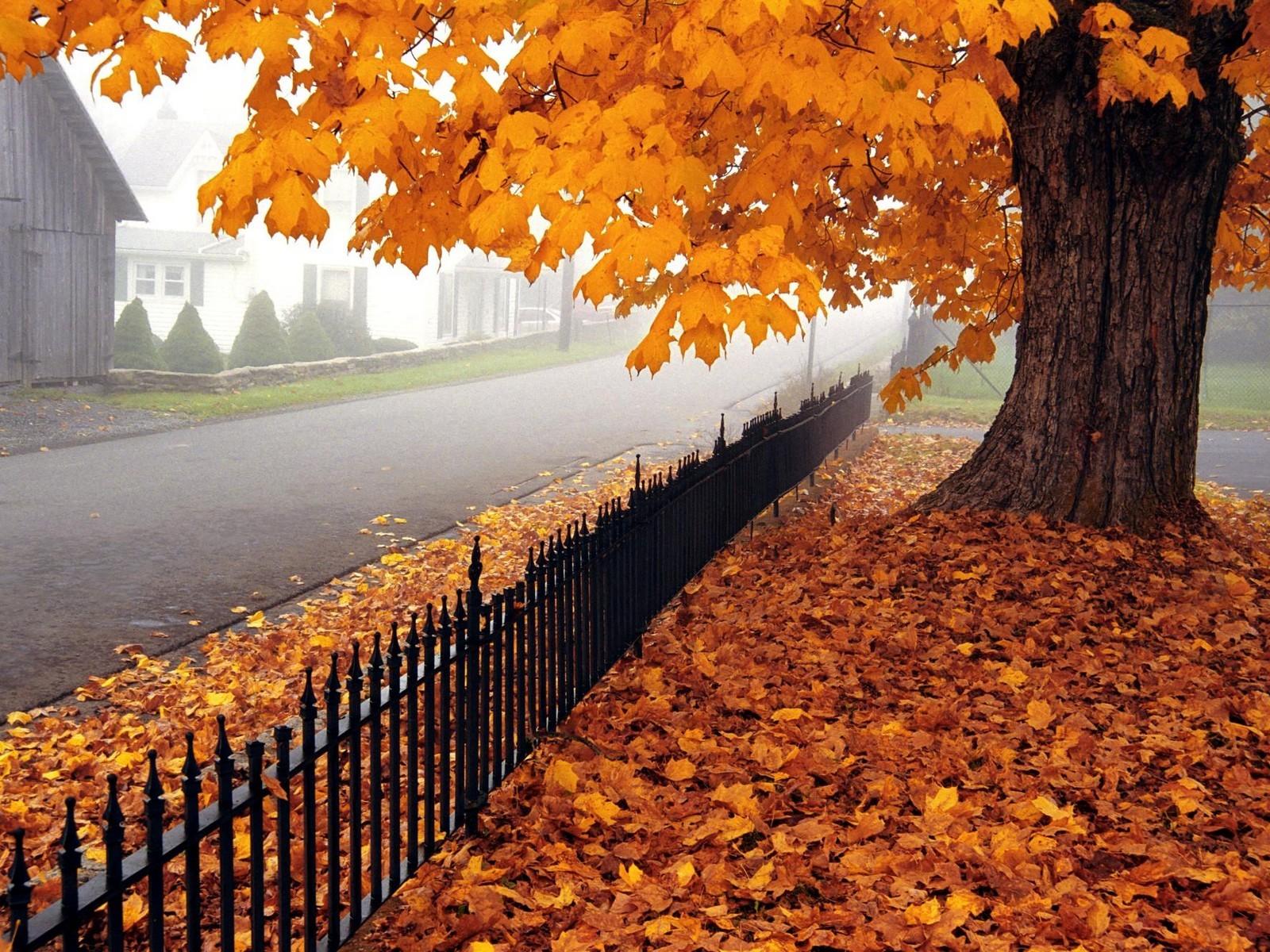 клен осенью фото дерева и листьев