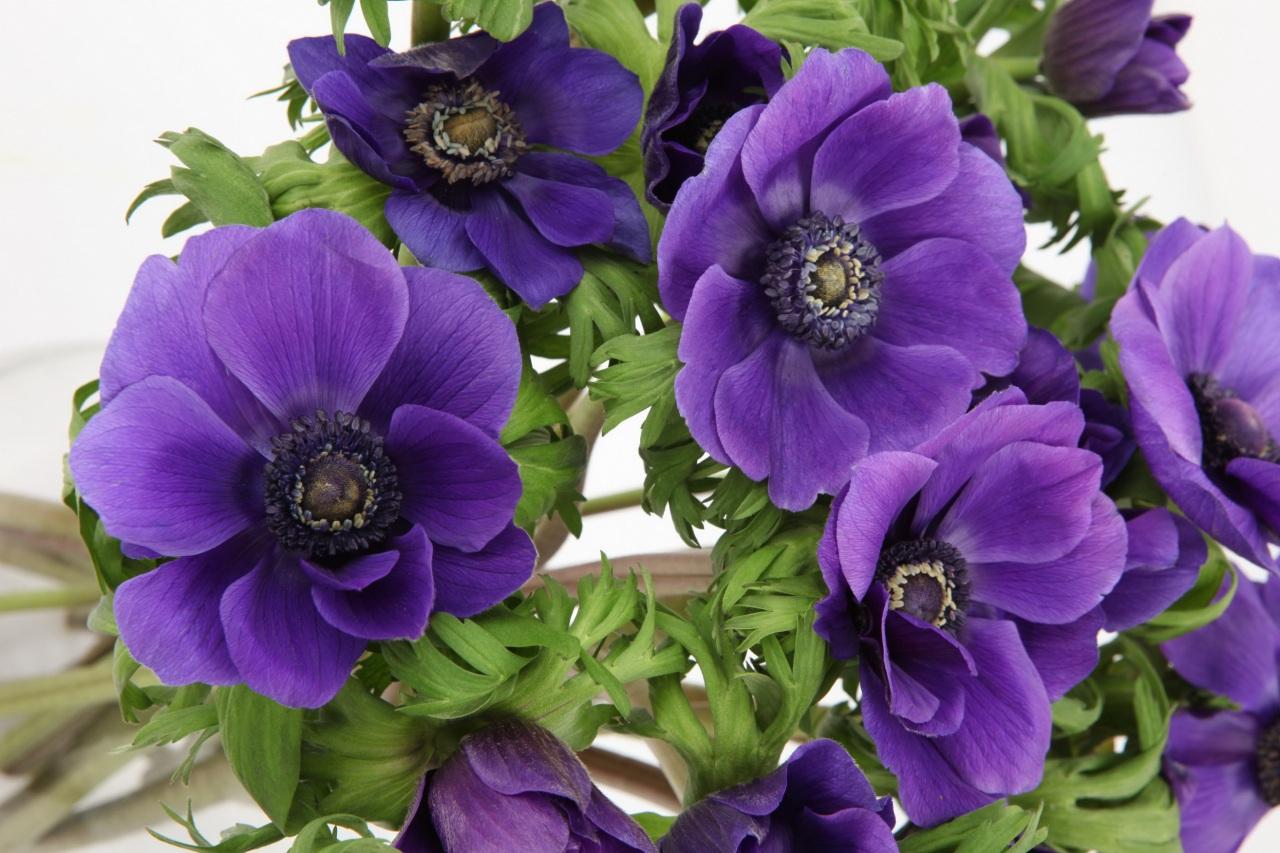 Анемона цветок