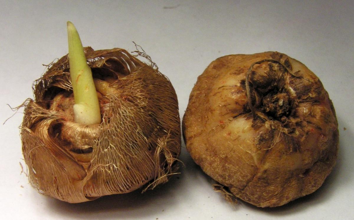 Анемона корончатая: проращивание, посадка и уход 81