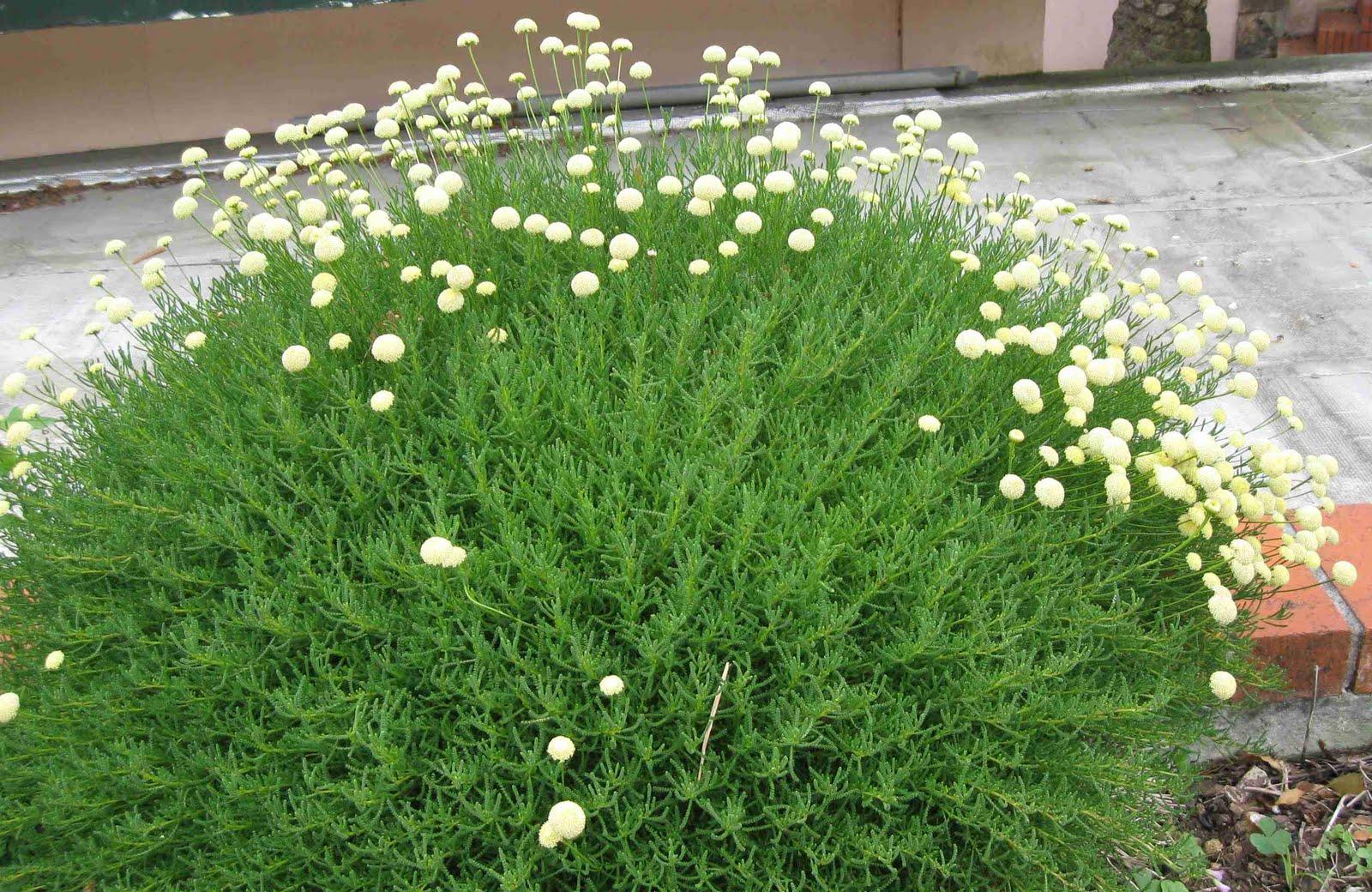 Седой цветок фото название