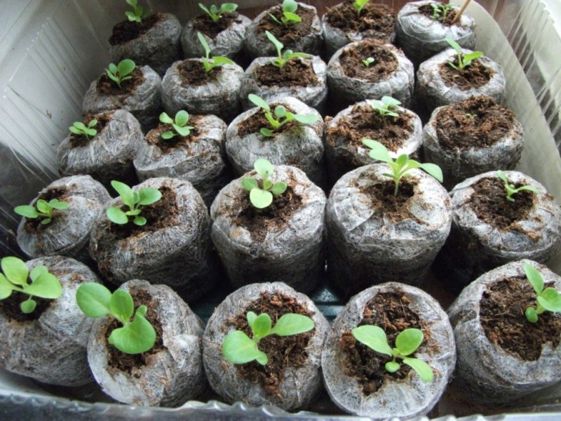 Как правильно в домашних условиях вырастить рассаду 97