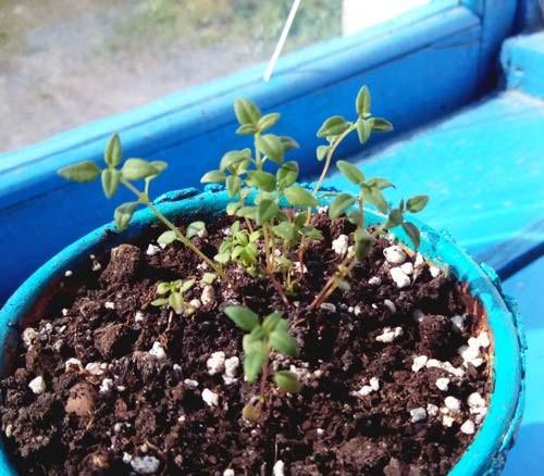 Чабер огородный выращивание из семян когда сажать 48