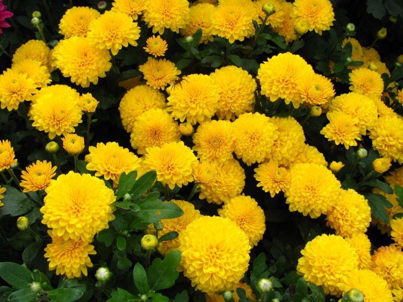 Желтые кустовые цветы