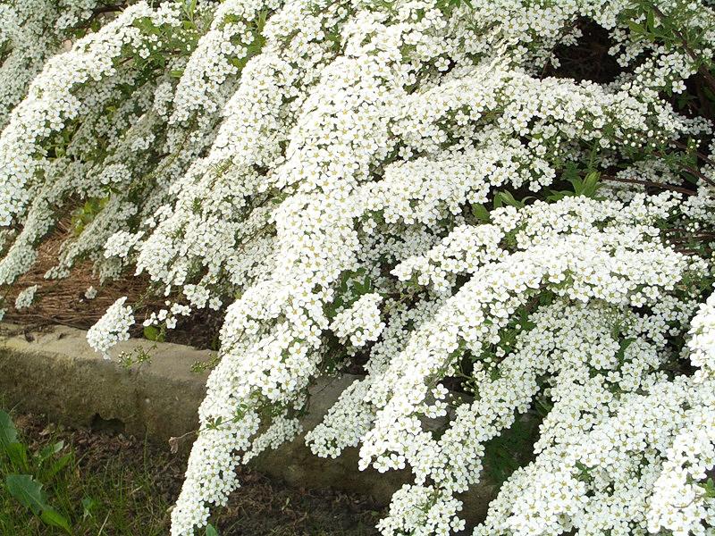 Цветы невеста садовые выращивание 43