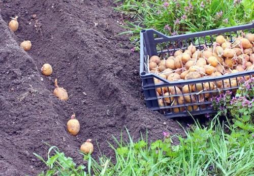 Технология выращивания голландского картофеля.