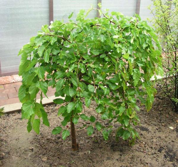 Шелковица дерево как сажать 12