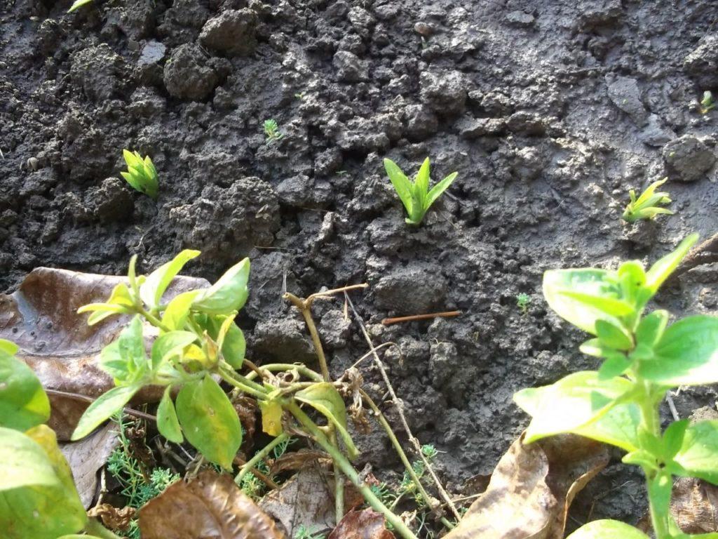 Анемона выращивание из семян когда сажать фото 41