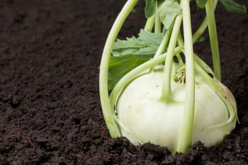 Gardening fresh kohlrabi turnip