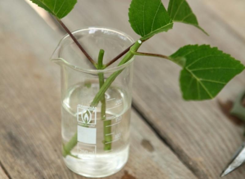 Выращивание гортензии крупнолистной из черенков 90