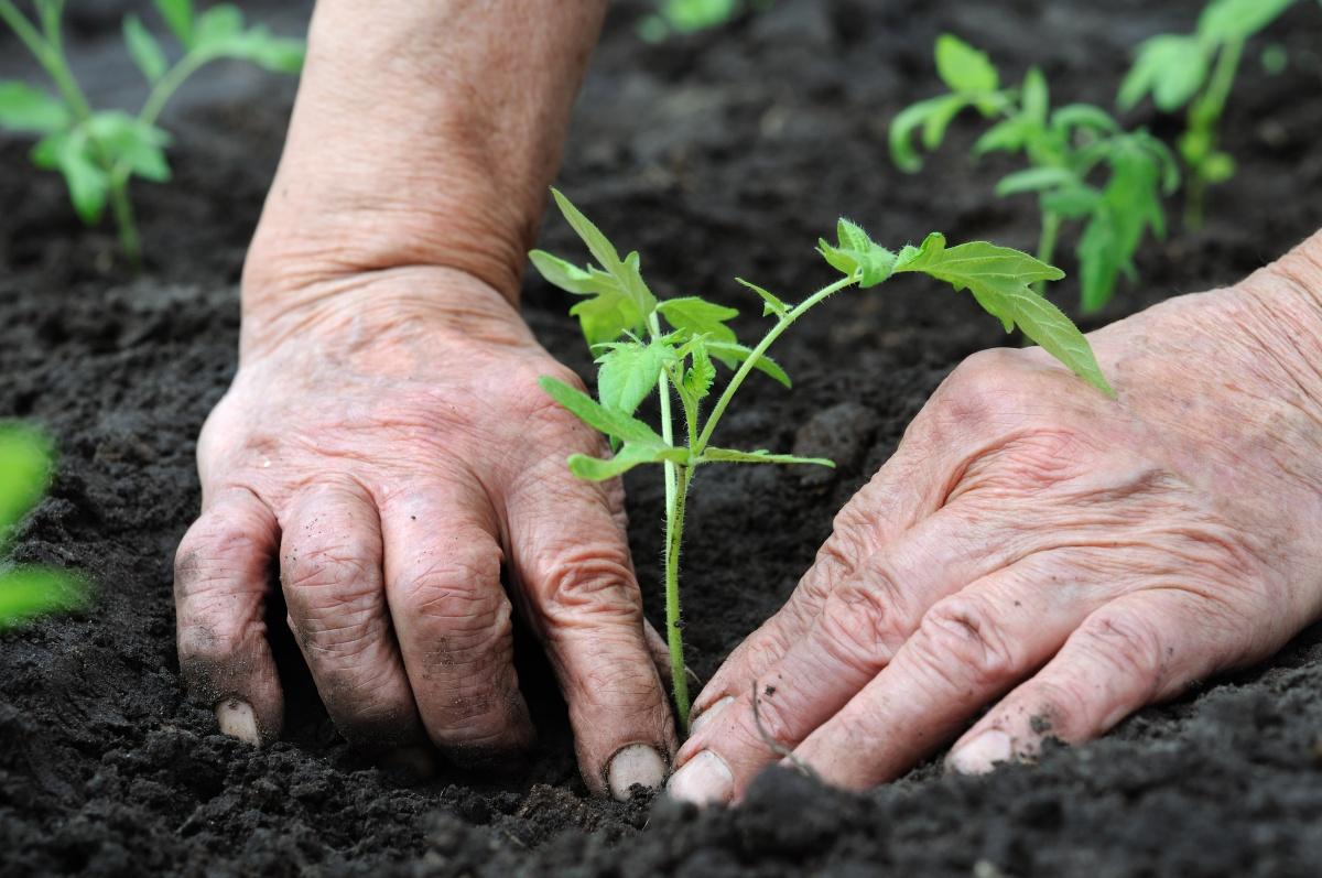 Когда сажать помидоры в открытый грунт семенами 48