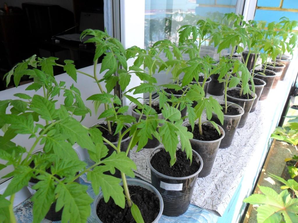 Уход за рассадой огурцов и помидор 21
