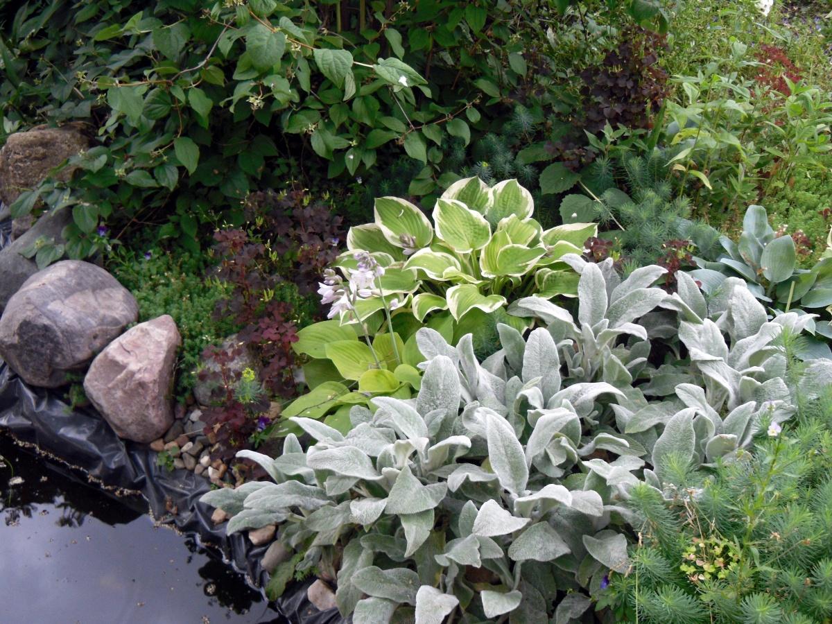 Комнатный цветок заячьи ушки: уход, описание и фото
