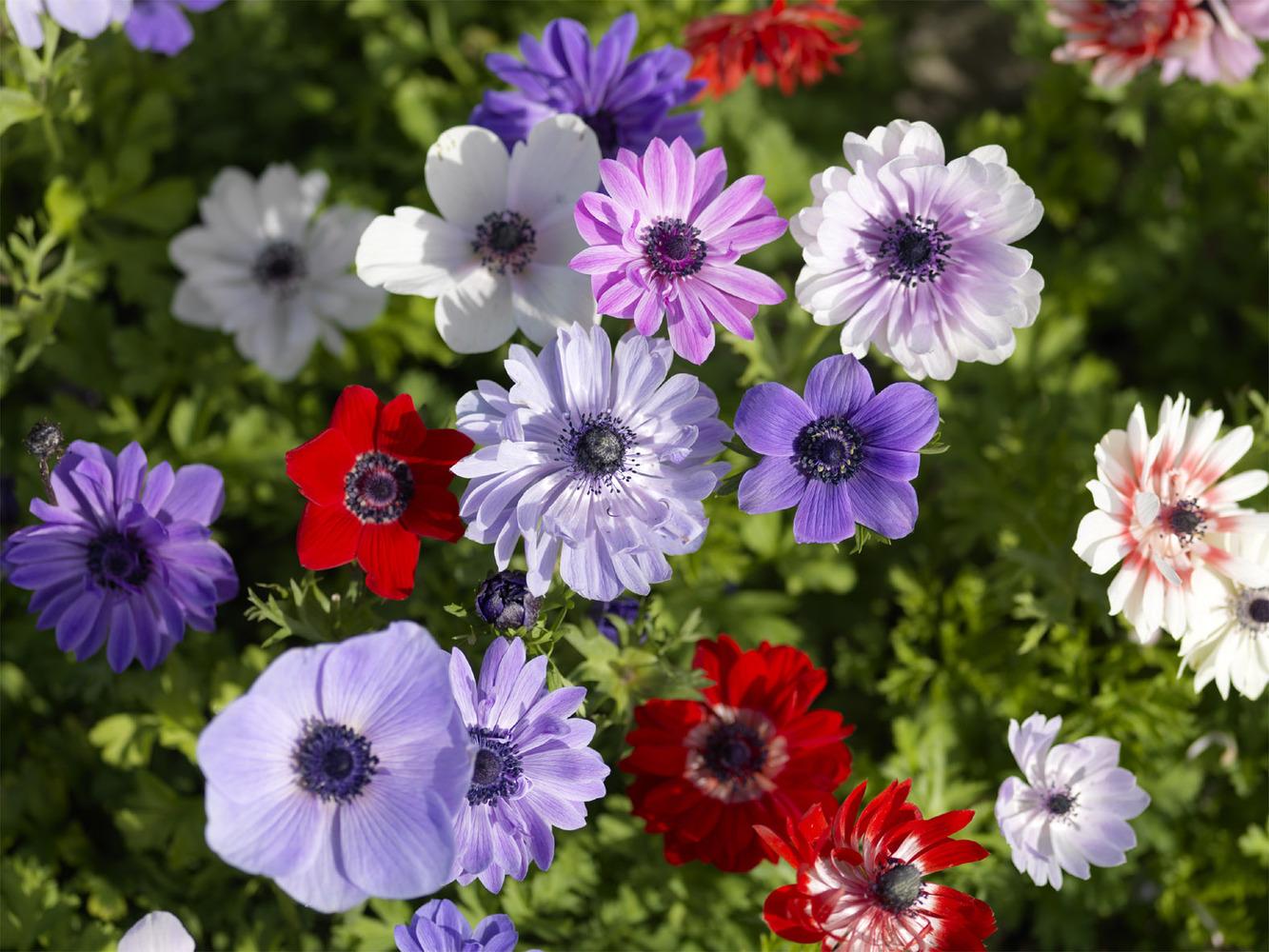 Анемона де каен фото цветов