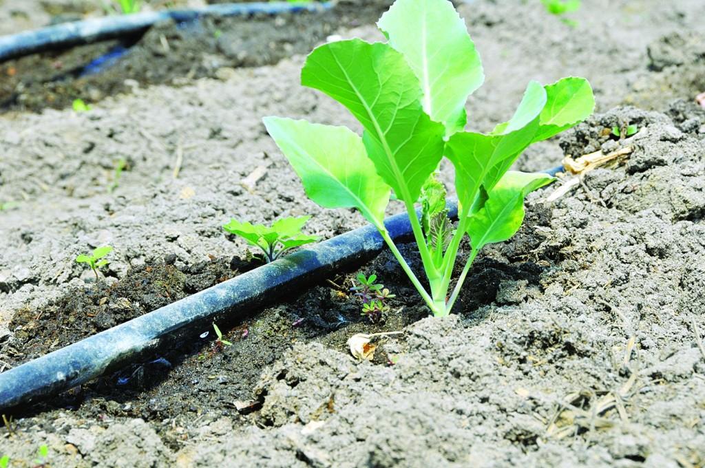 Как вырастить рассаду капусты белокочанной